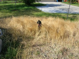 Scouty prefers native grasses